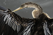 Anhinga Framed Prints - Anhinga Framed Print by Bob Christopher