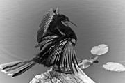 Lettuce Photos - Anhinga by Carolyn Marshall