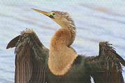 Anhinga Framed Prints - Anhinga Eye Framed Print by Deborah Benoit