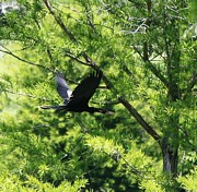 Signed Digital Art Posters - Anhinga in Flight  1713 I Poster by Suzanne  McClain