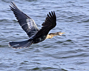 Anhinga In Flight Print by Roger Wedegis