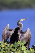Anhinga Framed Prints - Anhinga Framed Print by Natural Selection David Ponton