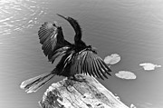 Anhinga Art - Anhinga On Lake by Carolyn Marshall