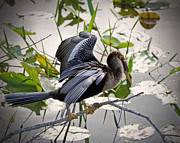Florida Wild Turkey Prints - Anhinga Print by Rudy Umans