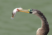 Florida Gulf Coast Posters - Anhinga Spearing Fish Poster by Mlorenzphotography