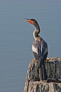 Pictures Photo Originals - Anhinga Sunning on Log by John Wright