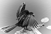 Animals Framed Prints - Anhinga Water Bird Framed Print by Carolyn Marshall