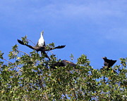 Stretching Wings Posters - Anhingas of Puerto Vallarta Poster by Cindy Wright