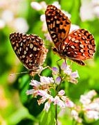 Checkerspot Prints - Anica Checkerspot on Dogbane Print by Merle Ann Loman