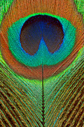 Scanography Photos - Animal - Bird - Peacock Feather by Mike Savad