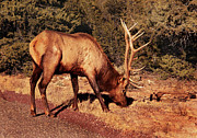 Elk Posters - Animal - Elk -  An Elk Eating Poster by Mike Savad