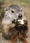 Groundhog Photography Acrylic Prints - Animal - woodchuck - eating Acrylic Print by Paul Ward
