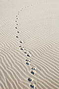 Sand Photography Prints - Animal Footprints On Rippled Desert Sand Print by Dimitri Otis