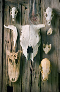 Textures Photos - Animal skulls by Garry Gay