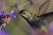 Hummingbird Prints Prints - Anna Print by Paul Marto