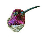 Hummingbird Drawings Metal Prints - Annas Hummingbird Metal Print by Logan Parsons
