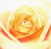 Anniversary Rose Print by Sven Pfeiffer