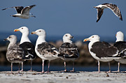 Seagull Metal Prints - Annual Seagull Congress Metal Print by Michael Mogensen