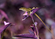 Vero Posters - Anole Lizard in a Purple Garden Poster by Sabrina L Ryan