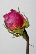 Interior Still Life Photo Metal Prints - Another Rose  Metal Print by Robert Ullmann