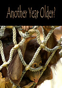 Orangutan Posters - Another Year Older Poster by Carolyn Marshall