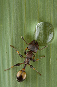 New Britain Photo Prints - Ant Drinking From Water Droplet Papua Print by Piotr Naskrecki