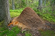Anthill Prints - Ant Hill Print by Bjorn Svensson