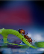 Insects Metal Prints - Ant in a colorful world Metal Print by Bob Rasulev