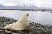 Fur Seal Framed Prints - Antarctic Fur Seal Blonde Male Framed Print by Charlotte Main