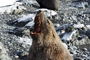Wide Open Mouth Framed Prints - Antarctic Fur Seal Male Roaring Framed Print by Charlotte Main