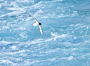 Wings Photos - Antarctic Petrel by Kelly Cheng Travel Photography