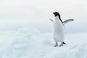 Spread Wings Prints - Antarctica, Adelie Penguin (pygoscelis Adeliae) On Iceberg Print by Joseph Van Os