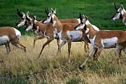 Antelope 1 Print by Marty Koch