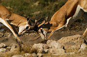 Springbok Framed Prints - Antelope Clash Framed Print by Alistair Lyne