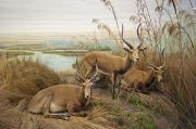 Antelope In The Grass Near The River Print by Laura Ciapponi