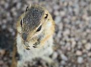 Ground Prints - Antelope Squirrel  Print by Saija  Lehtonen