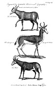 Springbok Posters - Antelopes Poster by Granger
