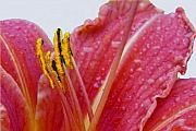 Day Lilly Prints - Anthers Print by Robert OP Parrish