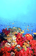 Colorful Tropical Fish  Photos - Anthias Fish And Coral Reef, Fiji by Beverly Factor