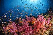 Colorful Tropical Fish  Photos - Anthias Fish And Soft Corals, Fiji by Todd Winner