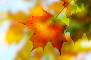 Autumn. Fall Colors - Anthocyanin Effect by Anthony Rego