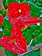 Ebsq Photo Prints - Anthurium Print by Dee Flouton