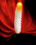 Phallic Posters - Anthurium Flamingo Flower . 7D5567 Poster by Wingsdomain Art and Photography