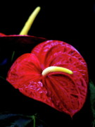 Phallic Posters - Anthurium Flamingo Flower . 7D5574 Poster by Wingsdomain Art and Photography
