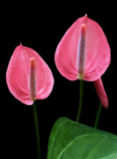 Black Background Mixed Media Framed Prints - Anthurium Framed Print by Kristin Elmquist