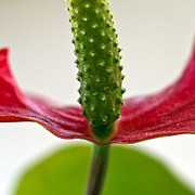 Floral Photos - Anthurium by Stylianos Kleanthous