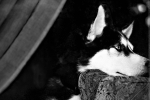 Husky Photo Prints - Anticipation Print by Celestial  Blue