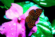 Puerto Rico Prints - Antillean crescent Butterfly on Impatiens Print by Thomas R Fletcher