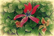 Antiquated Digital Art Prints - Antiquated Red Flower Print by Alex AG
