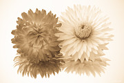 Everlasting Flower Photos - Antique Floral Duo by Heidi Smith